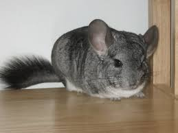 first time chinchilla owner