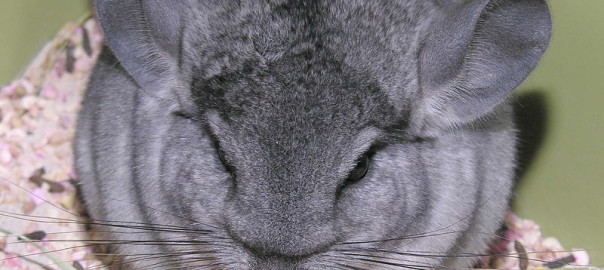 fun facts about chinchillas